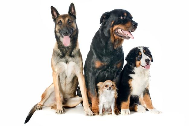 Cztery psy na białym tle