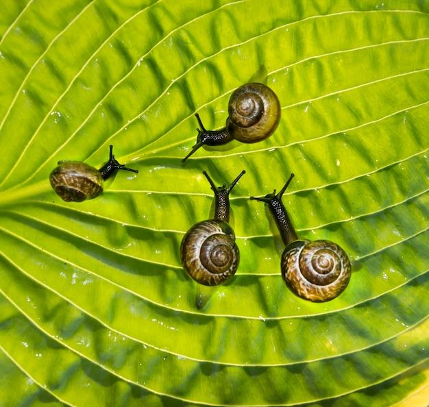 Cztery ślimaki ogrodowe pełzają przez zielony liść hosta fortunei marginato-alba