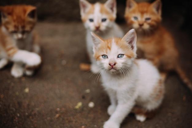 Cztery słodkie małe bezpańskie kocięta białe i imbirowe