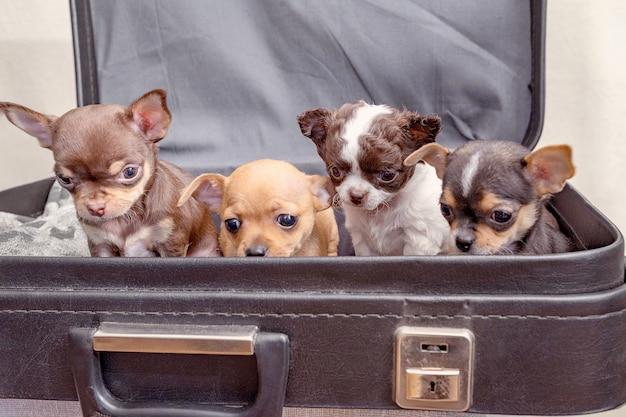 Cztery szczenięta siedzą w walizce, chcąc wyjechać w podróż.