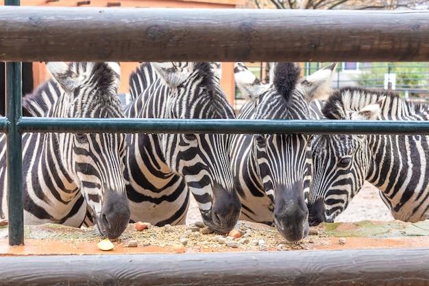 Cztery zebry w zoo jedzą jedzenie