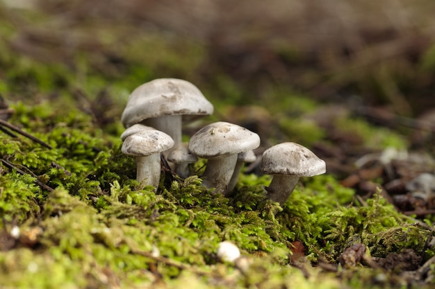 Czub atractosporocybe inornata grzyb