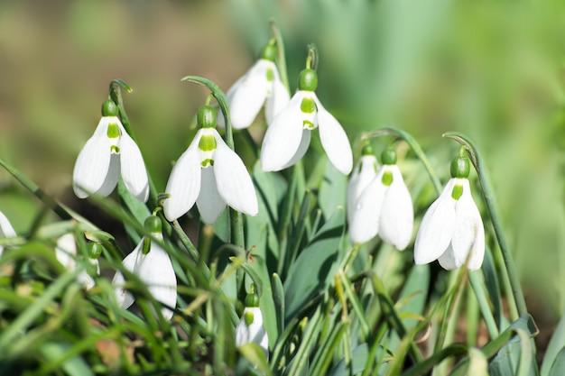 Czuły biały śnieżyczki zakończenie w lesie. czas wiosenny