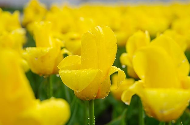Czuły piękny żółty tulipan pączkuje po deszczu. piękny europejski ogród, kwietnik.