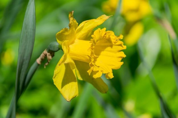 Czuły żółty kwitnący narcyz kwitnie w wiosna ogródzie, kwiecisty tło
