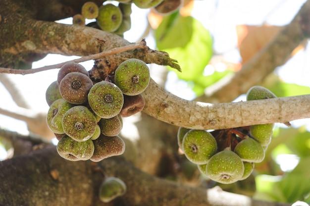Czupirzy owoc na drzewnym zbliżeniu