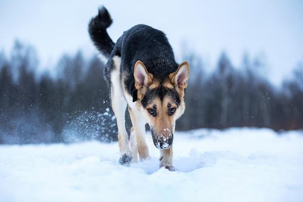 Czystorasowy owczarek niemiecki wąchający zimą na szlaku w śniegu