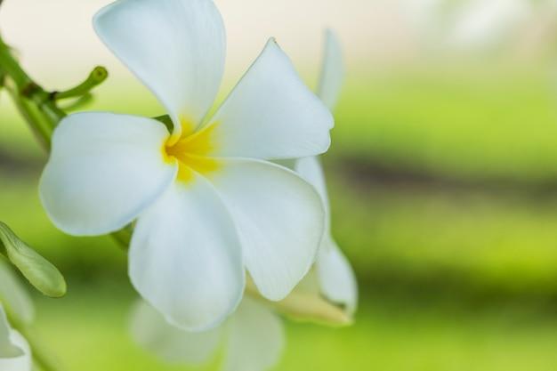 Czystość białych kwiatów plumerii lub frangipani.