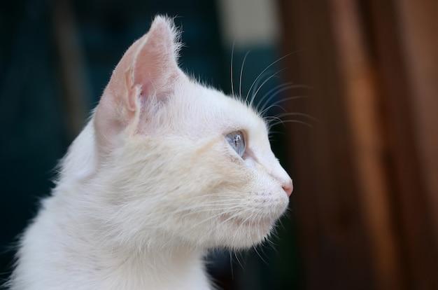 Czysty biały kot z turkusowymi niebieskimi oczami i różowymi uszami