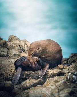 Czyszczenie nowozelandzkiego lwa morskiego