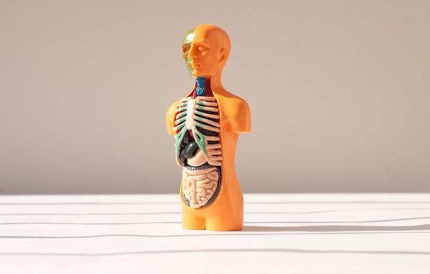 D ludzki model z narządami wewnętrznymi wewnątrz medycznej koncepcji anatomicznej