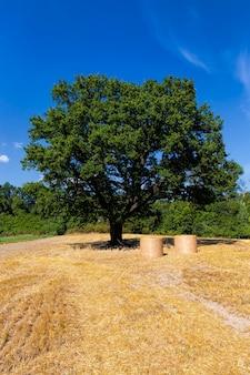 Dąb liściasty rośnie na polu uprawnym z pszenicą