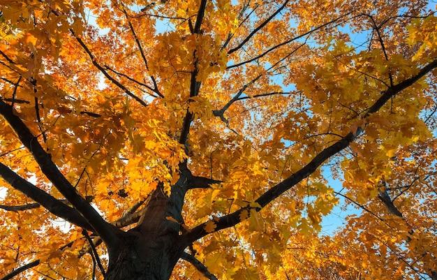 Dąb od spodu z żółtymi jesiennymi liśćmi