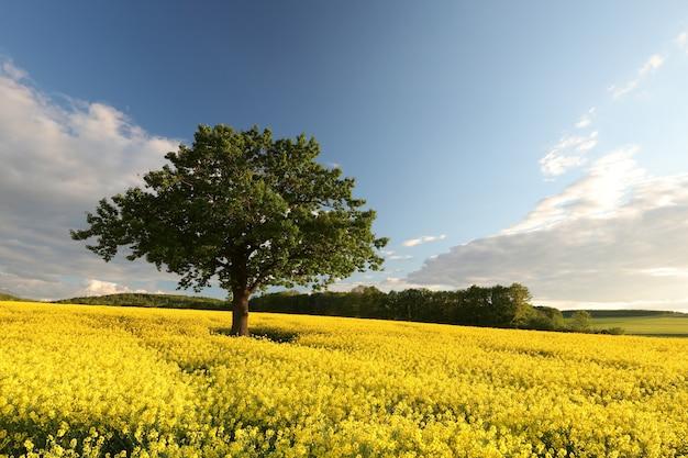 Dąb w polu kwitnącego rzepaku