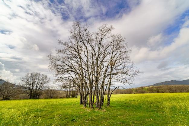 Dąb z wieloma pniami i gołymi gałęziami w zielonym polu z żółtymi kwiatami i pochmurnym niebem. madryt, hiszpania.