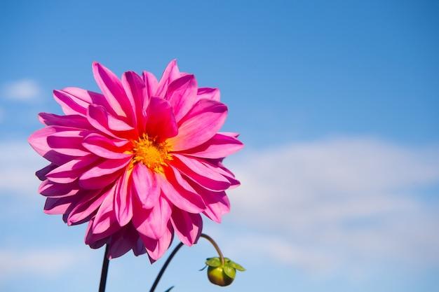 Dahila różowy kolor, głębokie skupienie.dahlia to rodzaj krzaczastych, bulwiastych, zielnych bylin pochodzących głównie z meksyku, ale także z ameryki środkowej i kolumbii.