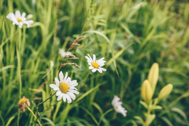Daisy kwiaty na trawniku w ogrodzie w słoneczny dzień. niewyraźne tło.