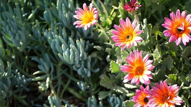 Daisy lub marguerite kolorowe kwiaty, kalifornia usa. aster lub cape nagietka wielokolorowy fioletowy fioletowy kwiat. ogrodnictwo domowe, amerykańska dekoracyjna ozdobna roślina doniczkowa, naturalna atmosfera botaniczna