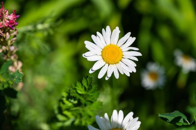 Daisy otoczona zielenią na polu w słońcu z rozmytym tłem