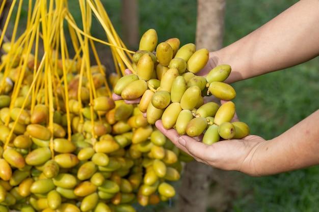 Daktylowe palmy owocowe w ręku na drzewie daktylowym. uprawiane na północy tajlandii