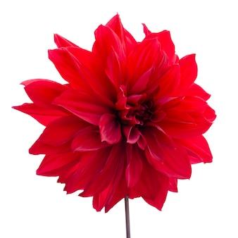 Dalia czerwona. kwiat na czarno na białym tle