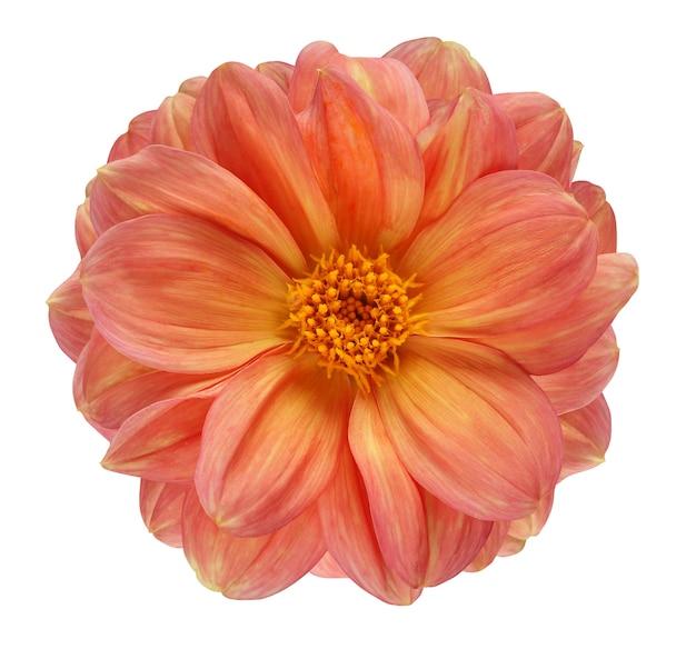 Dalia na białym tle na białym tle ze ścieżką przycinającą. jeden kwiat z żółto-pomarańczowymi płatkami i żółtym rdzeniem, widok z góry.