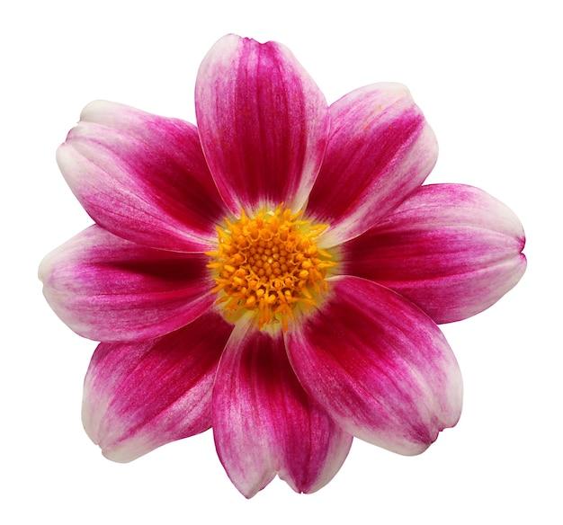 Dalia na białym tle ze ścieżką przycinającą jeden roczny fioletowy kwiat z żółtym rdzeniem