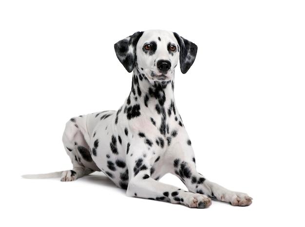 Dalmacja, 15 miesięcy. portret psa na białym tle