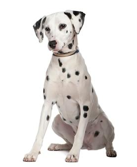 Dalmacja, 8 miesięcy. portret psa na białym tle