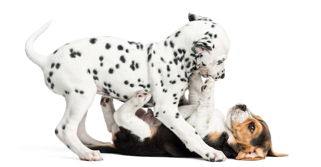 Dalmatyńczyk i beagles szczeniaki bawić się wpólnie, odizolowywający