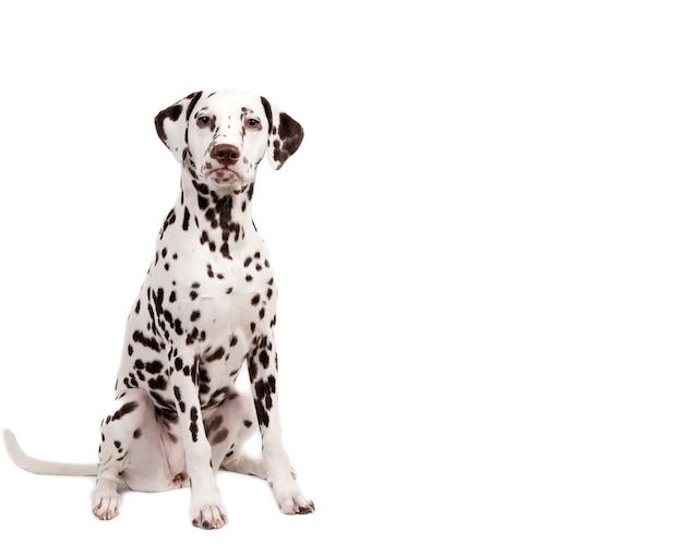 Dalmatyńczyk siedzi, patrząc w kamerę, na białym tle.