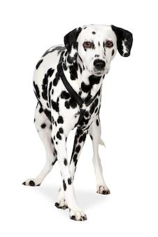 Dalmatyńczyk z 7 lat. portret psa na białym tle