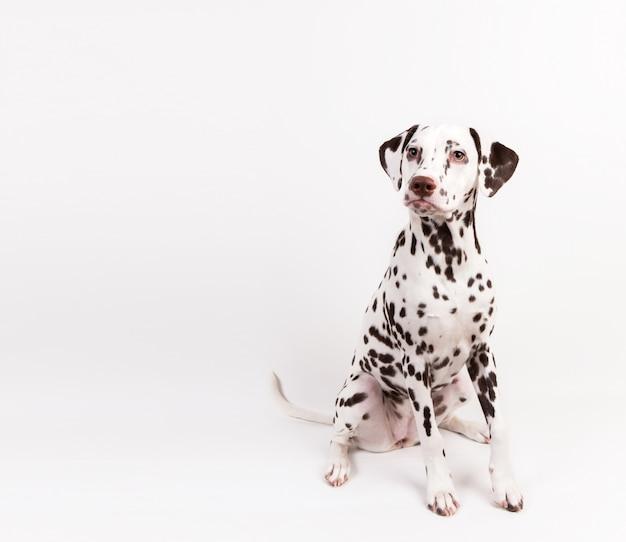 Dalmatyński obsiadanie, patrzeje na boku, odizolowywający na bielu