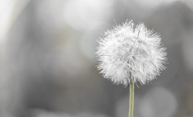 Dandelion białej trawy kwiat