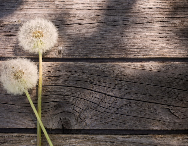 Dandelion na starzejącym się drewnianym tle