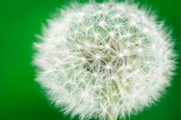 Dandelion na zielonym tle.