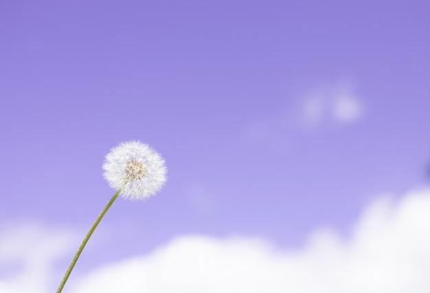 Dandelion purchawka w niebieskiego nieba tle