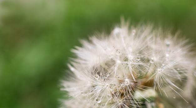 Dandelion z pięknymi przejrzystymi kroplami czysta woda na naturze na zielony ścienny makro-