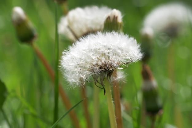 Dandelions Na Polu Z Zieloną Trawą Premium Zdjęcia