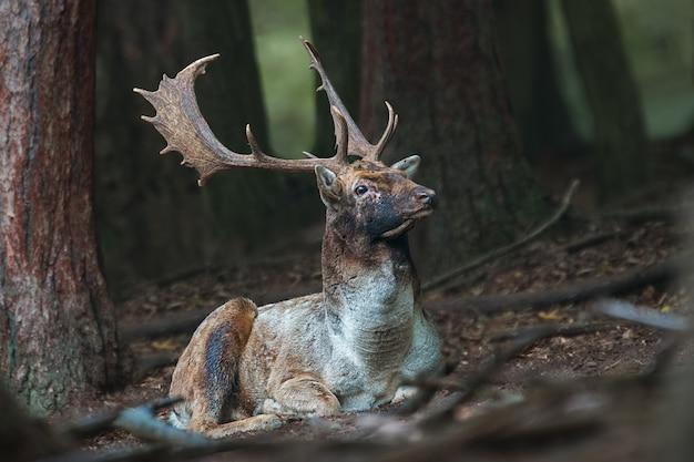 Daniele jelenie leżące na ziemi w ciemnym lesie z głową wysoko podniesioną.