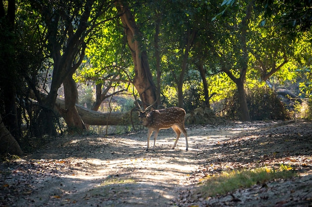 Daniele w drodze do lasu
