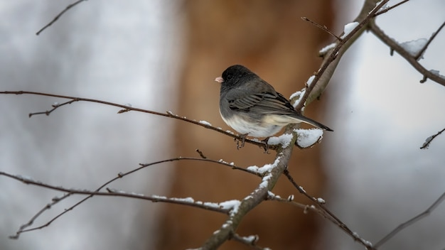 Dark eyed junco na gałęzi