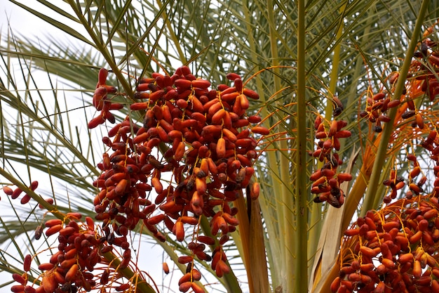 Daty palmowe