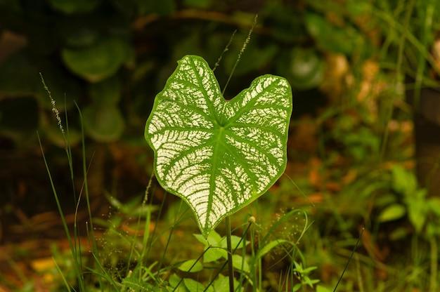 Daun Keladi, Caladium, Rodzaj Roślin Kwiatowych Z Rodziny Araceae, W Płytkiej Ostrości Premium Zdjęcia