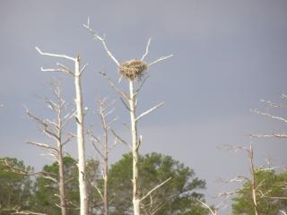 De - eagles nest, drzewo