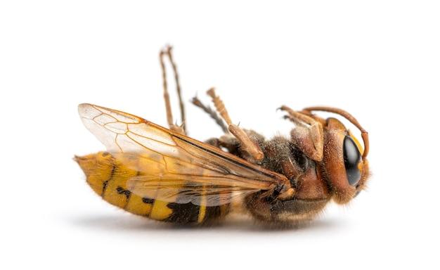 Dead hornet leżący na plecach, na białym tle