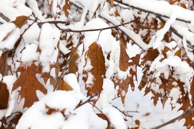 Dęby rosnące w przyrodzie zimą.