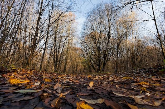 Dęby w lesie