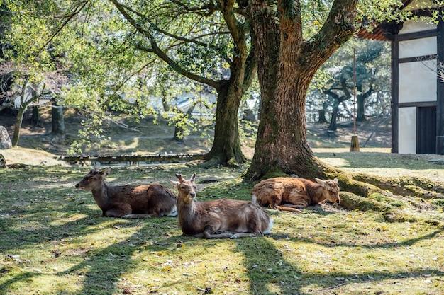 Deet siedzi w parku, nara w japonii