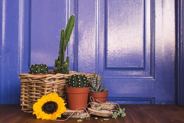 Dekoracje ogrodowe z różnymi kaktusami i słonecznikami